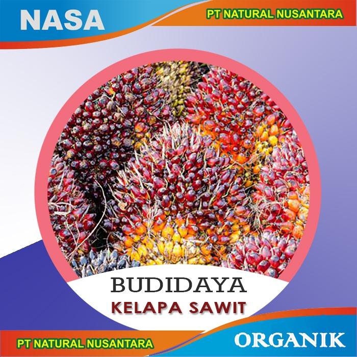 budidaya kelapa sawit, budidaya kelapa sawit nasa, budidaya sawit nasa, kelapa sawit nasa, sawit nasa