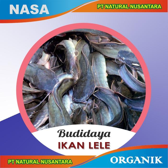 budidaya lele nasa, budidaya ikan lele nasa, budaya ikan nasa, budidaya lele nasa, lele nasa